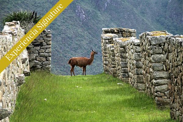Valle Sagrado Oveja en montanas de machu picchu