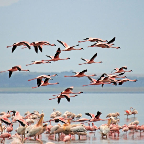 Flamencos en el parque nacional del lago Nakuru, Kenia
