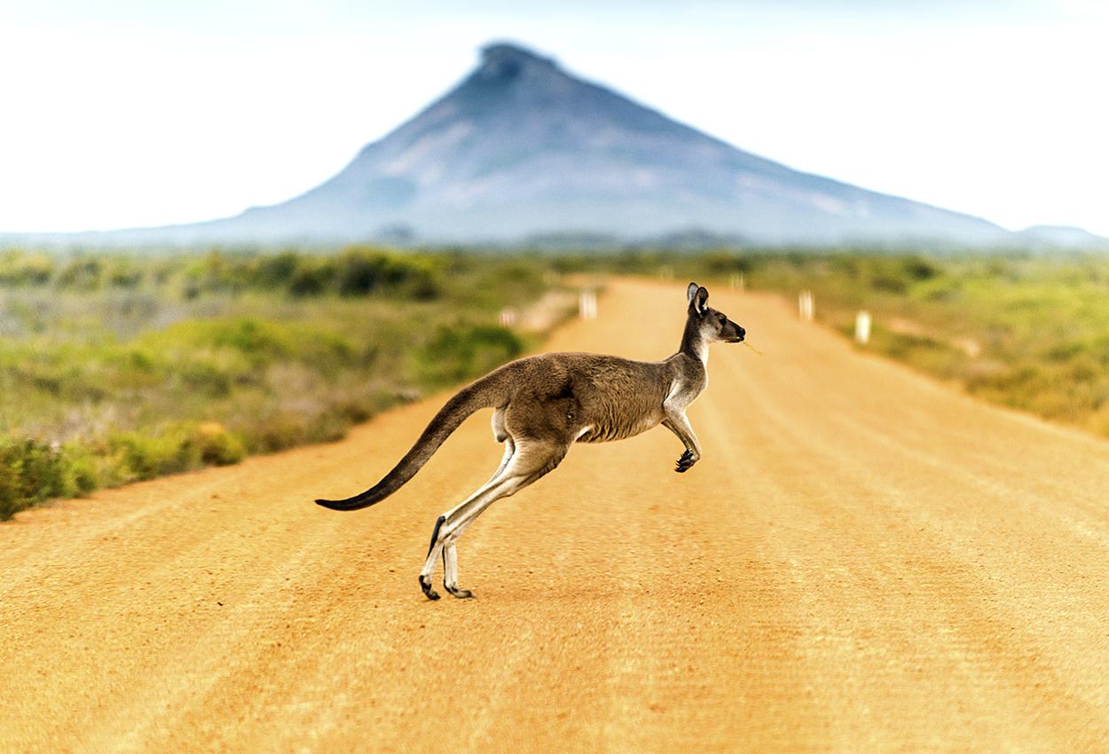 Canguro cruzando un camino de tierra en Australia