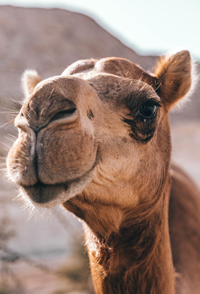 Camello en omán posando para la camara