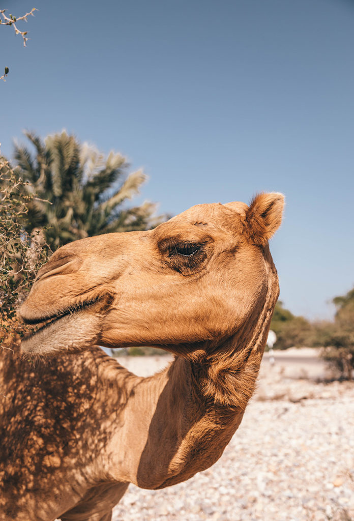Camellos posando en la Foto en Dubái