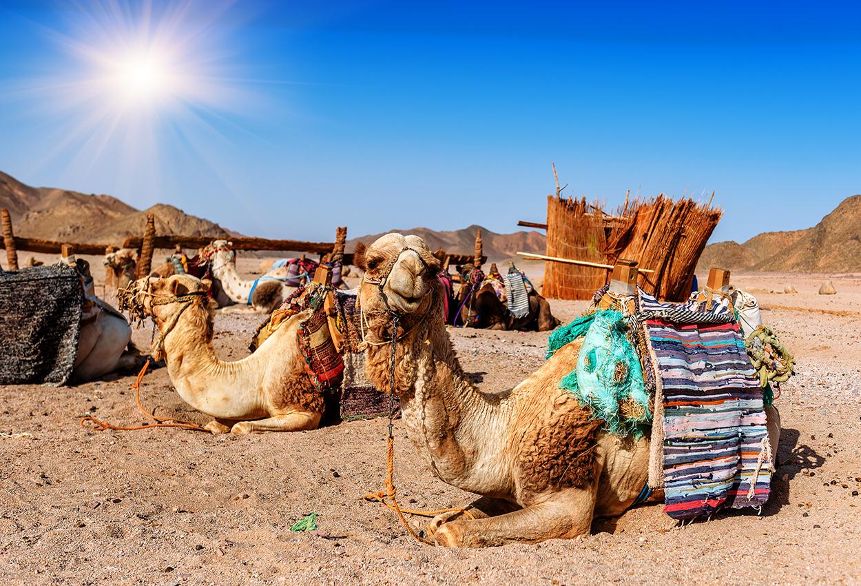 los camellos descansan en el desierto