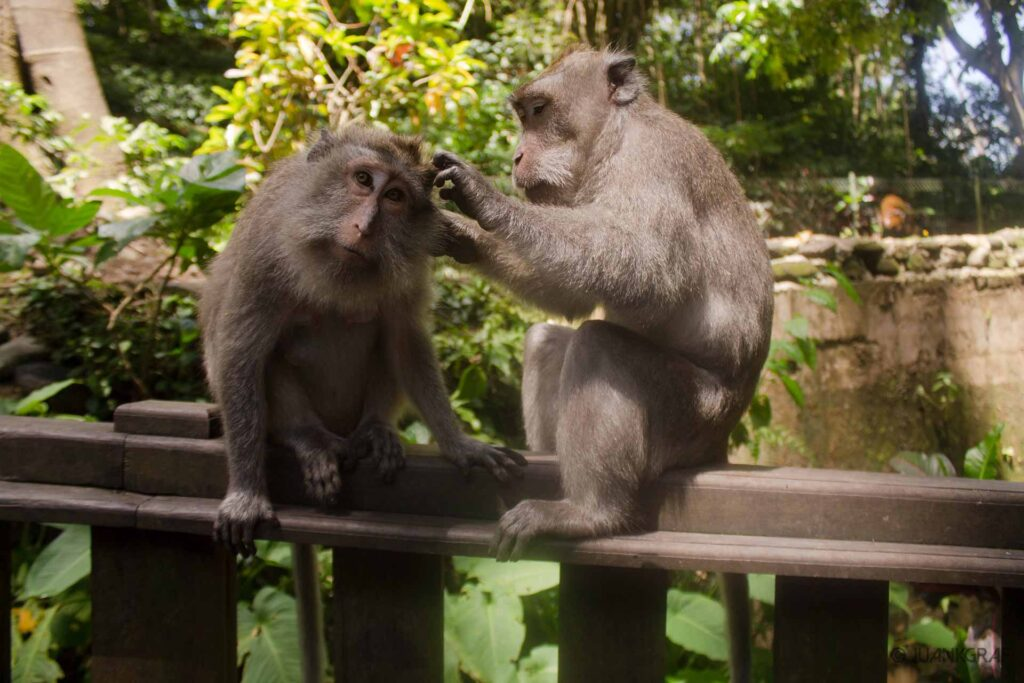 Parejas de monos