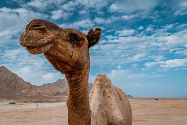 camello feliz en Egipto asiviajo