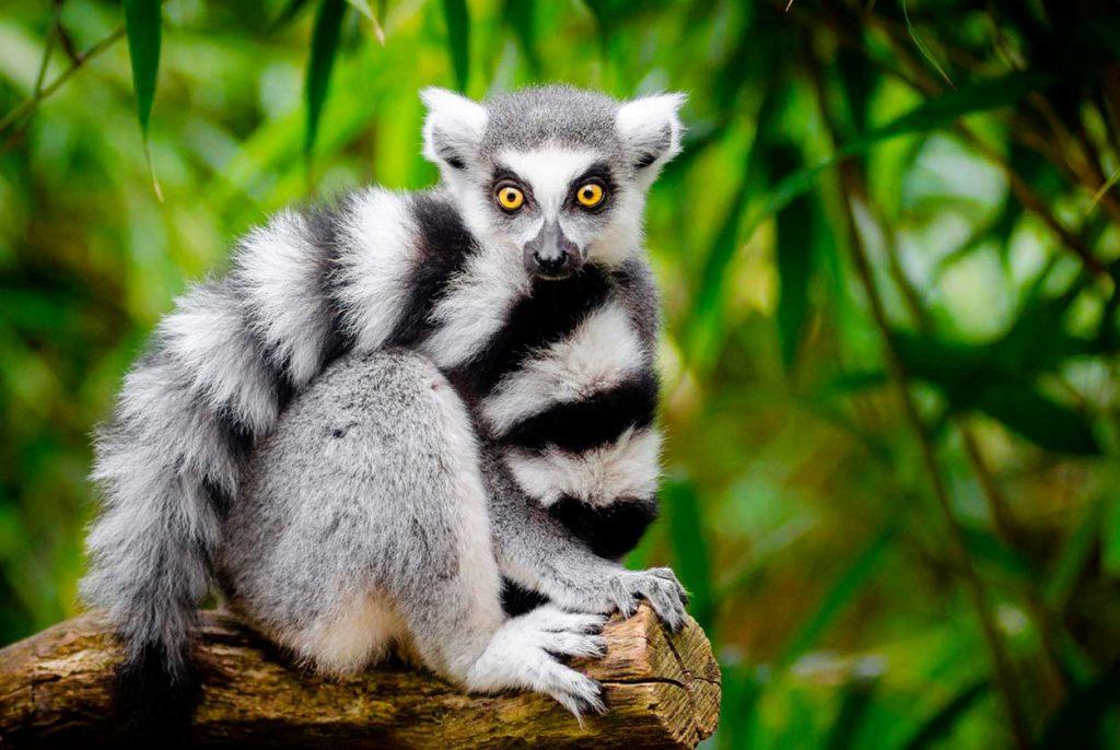 Anillo de lemur de cola Madagascar