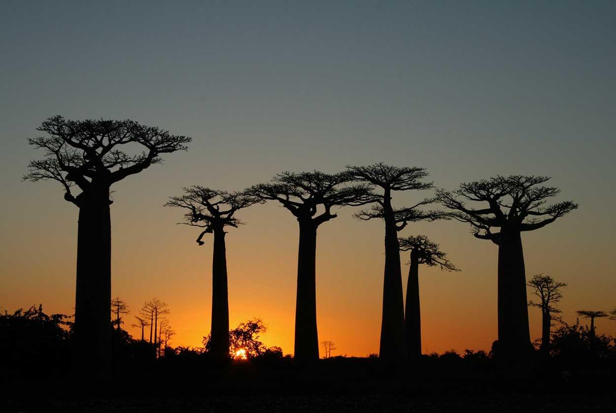 Avenida de los Baobabs Morondava Madagascar