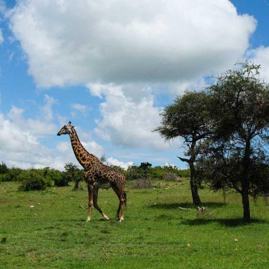 JIrafas en el Parque Nacional Masai Mara