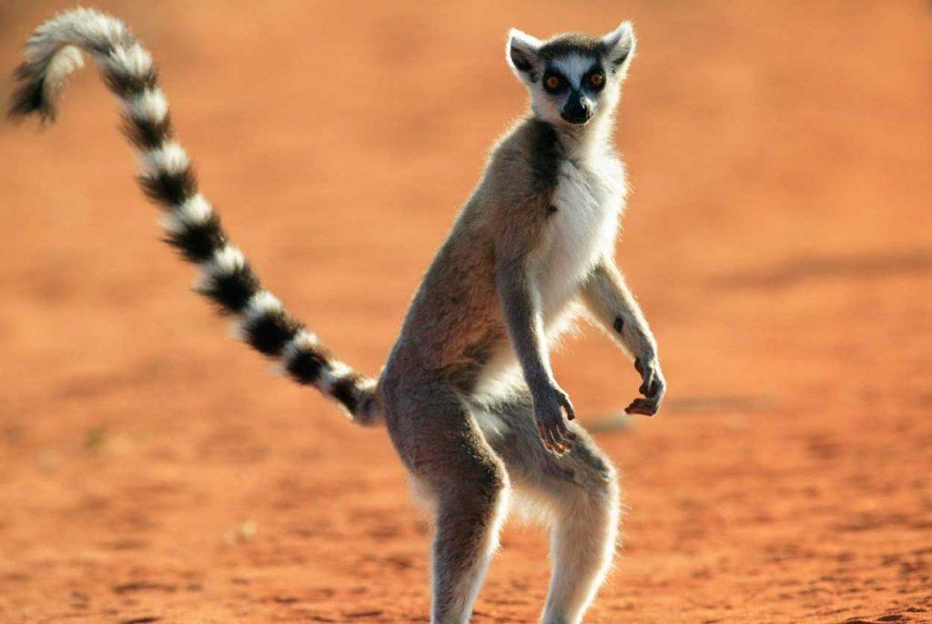 Lemur de cola anillada reserva berenty madagascar