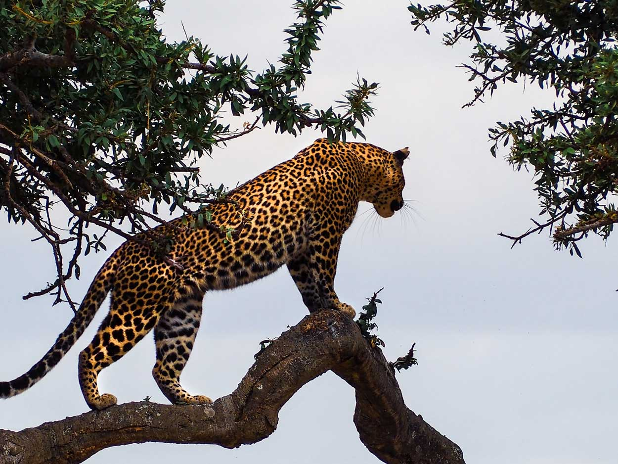 Leopardo Parque nacional Masai Mara